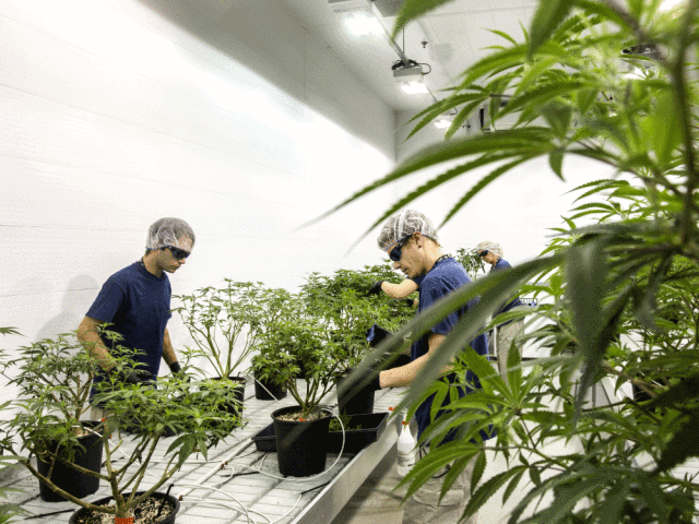 canadas marijuana heavyweights set sights on the ultimate prize conquering the world - Canada's marijuana heavyweights set sights on the ultimate prize: Conquering the world