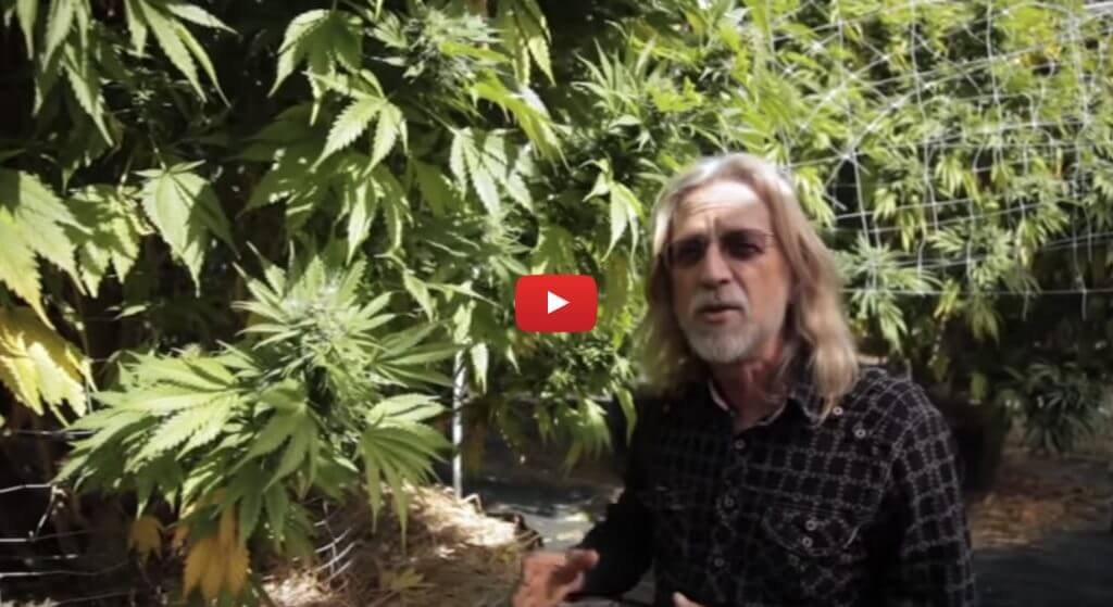 cannabis expeditions video 1024x559 - Video - Cannabis Expeditions The Green Giants of California with Jorge Cervantes