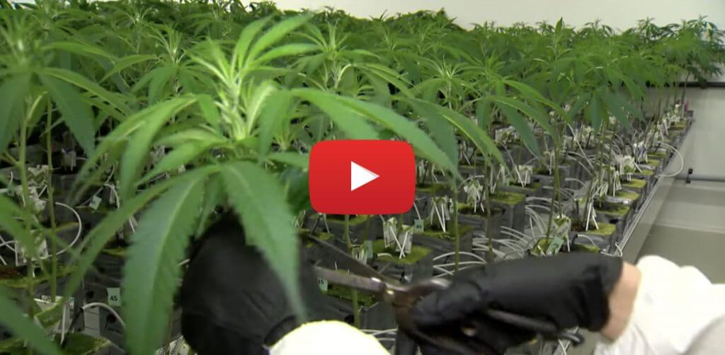 weed delayed video 1024x502 - WTF - Sale of recreation marijuana in Canada delayed until August