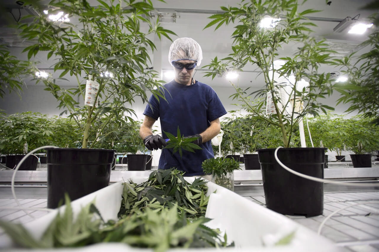 how canadian pot grown 2 - Growing marijuana 101: How your pot is being produced ahead of legalization