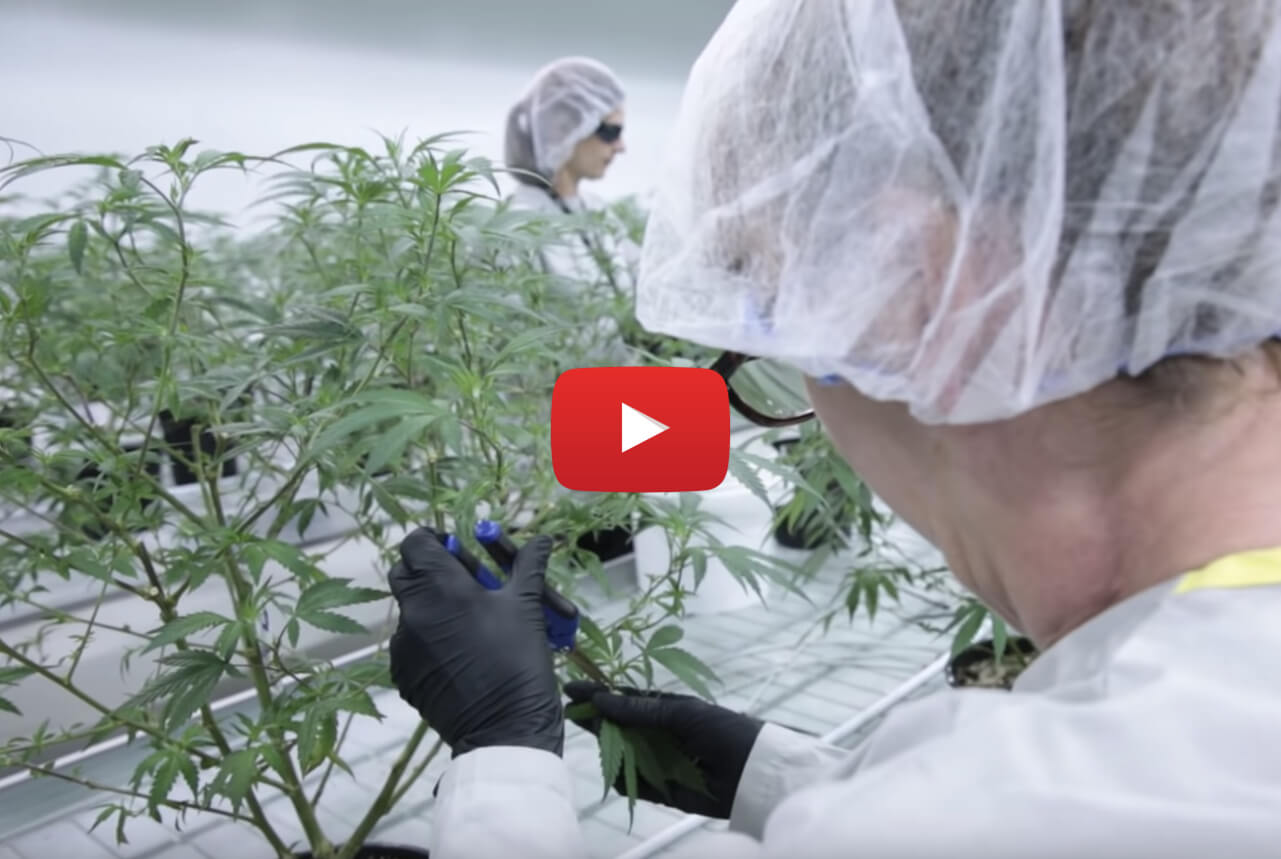 how canadian pot grown video - Growing marijuana 101: How your pot is being produced ahead of legalization