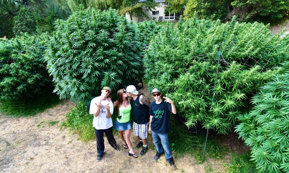 grow monster marijuana legal featured - Watch: Weed is now legal in Canada.. How to grow monster marijuana plants at home