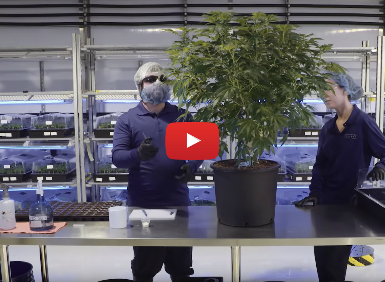 grow monster marijuana legal video - Watch: Weed is now legal in Canada.. How to grow monster marijuana plants at home