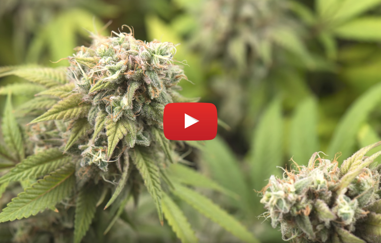 cannabis clinical trial video - B.C. Cancer to lead first national cannabis clinical trial for symptom relief