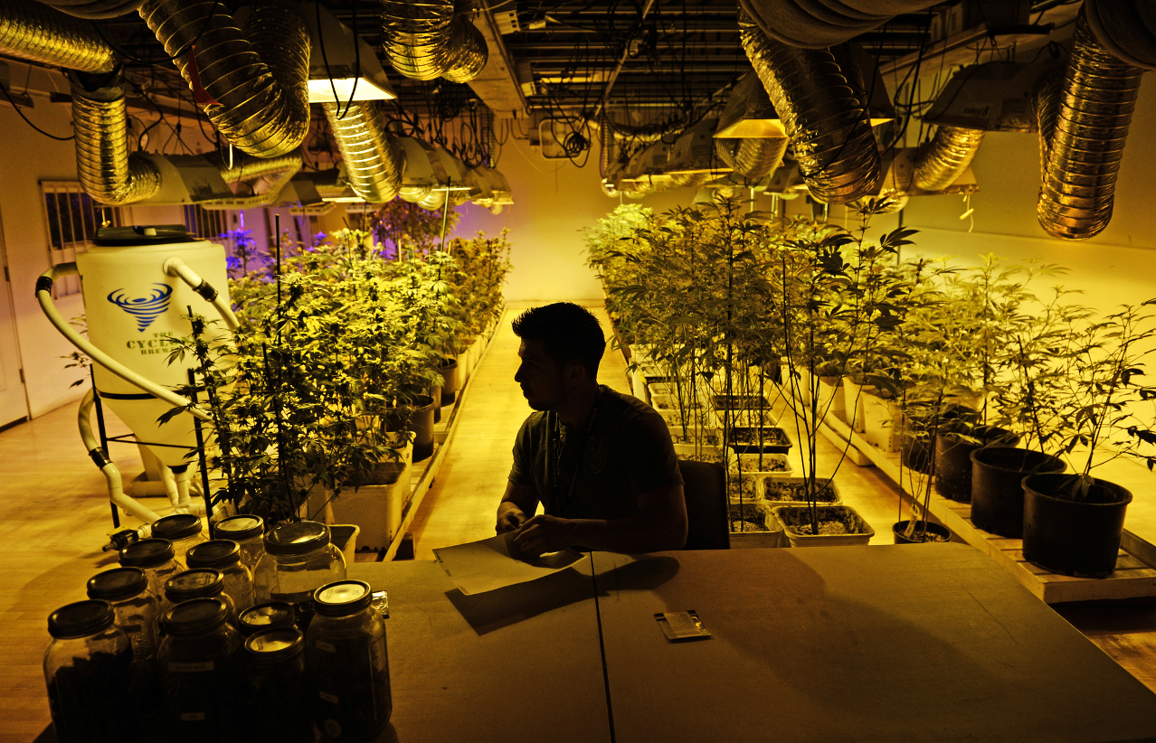 popular types weed grow 1 - Growing your own weed? The 5 Most Popular Marijuana Strains you can grow at home