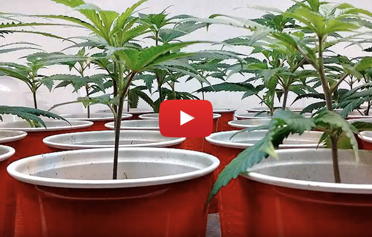 cannabis seed ocs video - Growing your own marijuana? Where are the seeds on the Ontario Cannabis Store?