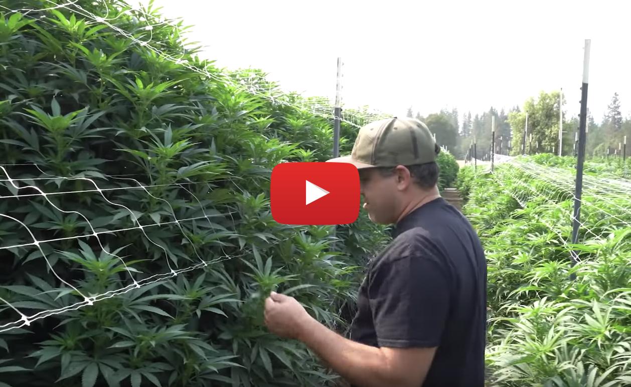 outdoor_legal_cannabis_farm_video