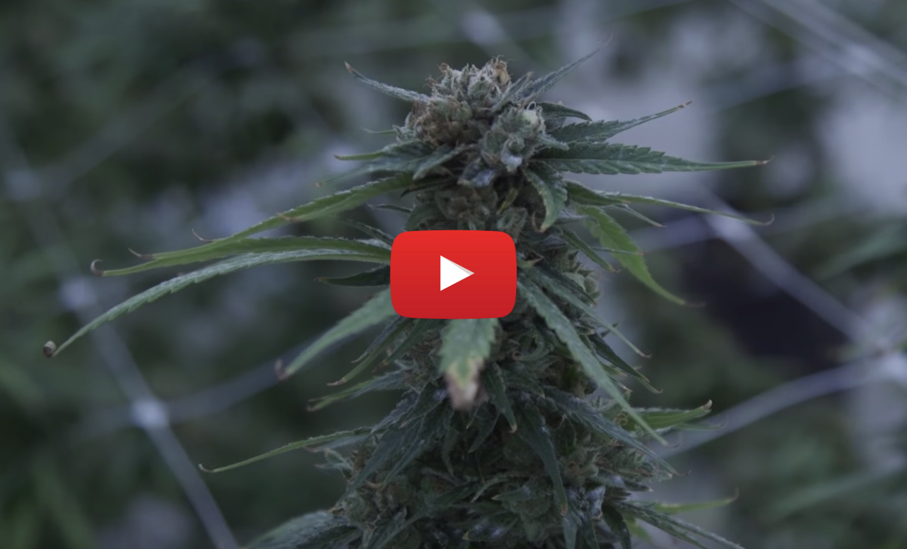 canopy_growth_black_market_video