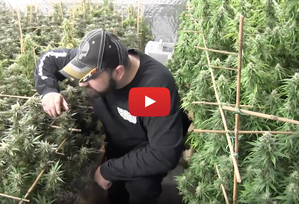 start legal cannabis growop video1 - What you need to start a legal cannabis grow-op in Canada