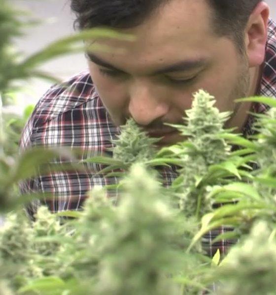 Legal immigrants with marijuana jobs denied US citizenship in Colorado