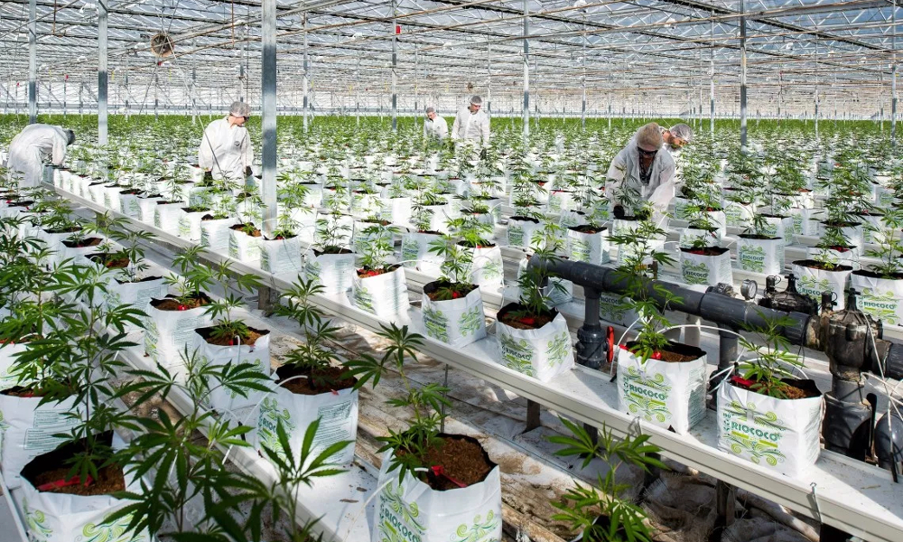 Regulation is killing Canadian cannabis industry, Canada has no pot supply issues