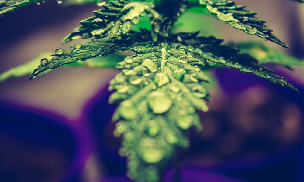dry herb cannabis vaporizer buying guide canada 2021